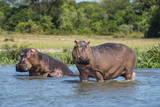 Hippopotamus (Hippopotamus Amphibius), Murchison Falls National Park, Uganda, East Africa, Africa Papier Photo par Michael Runkel