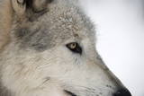 Close-Up of Face and Snout of a North American Timber Wolf (Canis Lupus) in Forest  Austria  Europe