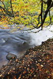 Fallen Leaves and Tree Overhanging the River Nidd in Nidd Gorge in Autumn