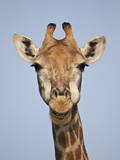 Cape Giraffe (Giraffa Camelopardalis Giraffa)  Kruger National Park  South Africa  Africa