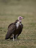 Hooded Vulture (Necrosyrtes Monachus)  Serengeti National Park  Tanzania  East Africa  Africa