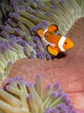 False Clown Anenomefish (Amphiprion Ocellaris) in the Tentacles of its Host Anenome