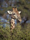 Cape Giraffe (Giraffa Camelopardalis Giraffa) Feeding