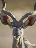 Greater Kudu (Tragelaphus Strepsiceros) Buck