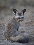 Bat-Eared Fox (Otocyon Megalotis)  Serengeti National Park  Tanzania  East Africa  Africa