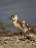Egyptian Goose (Alopochen Aegyptiacus) Gosling