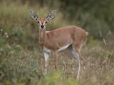 Female Steenbok (Raphicerus Campestris)  Kruger National Park  South Africa  Africa