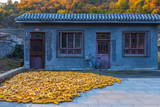 Maize (Corn) Drying  Gubeikou  Miyun County  Beijing Municipality  China  Asia