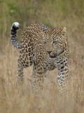 Leopard (Panthera Pardus) Walking Through Dry Grass