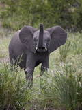 Young African Elephant (Loxodonta Africana)  Kruger National Park  South Africa  Africa