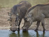 Two Warthog (Phacochoerus Aethiopicus) at a Water Hole