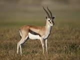 Male Thomson's Gazelle (Gazella Thomsonii)  Ngorongoro Crater  Tanzania  East Africa  Africa