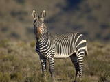 Cape Mountain Zebra (Equus Zebra Zebra)  Mountain Zebra National Park  South Africa  Africa