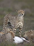 Cheetah (Acinonyx Jubatus) Mother at a Kill