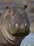Hippopotamus (Hippopotamus Amphibius)  Serengeti National Park  Tanzania