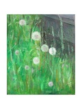 Dandelion Clocks in Grass  2008