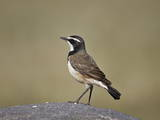Capped Wheatear (Oenanthe Pileata)  Serengeti National Park  Tanzania  East Africa  Africa