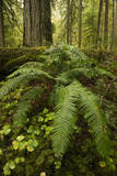 Ferns in an Old-Growth Forest