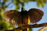 A Male Greater Bird of Paradise Performs an Upright Wing Pose at His Display Site