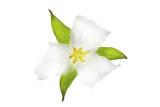 A Trillium Flower