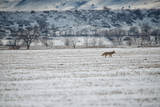 A Coyote  Canis Latrans  Near Boulder
