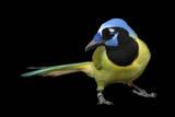 A Green Jay  Cyanocorax Yncas