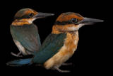 A Pair of Endangered Guam Micronesian Kingfishers