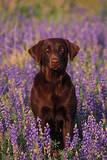 Portrait of a Pet Chocolate Labrador Retriever in a Field of Purple Wildflowers