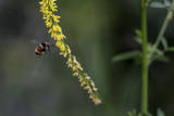 A Bee with Pollen Covered Legs Approaches a Flower Near East Lake Creek Trail