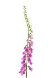 Foxglove Flowers