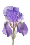 An Iris Flower
