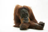 A Studio Portrait of a Critically Endangered Sumatran Orangutan  Pongo Abelii