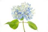 A Hydrangea Flower