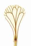 A Coriander Flower Petal