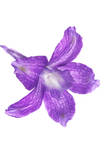 A Larkspur Flower