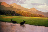 Two Bull Moose Browse the Willow Leaves and Other Lush Riparian Vegetation