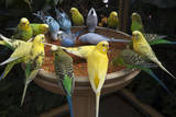 Parakeets or Budgies
