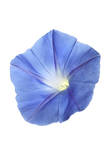 A Morning Glory Flower