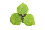 A Trillium Flower Bud