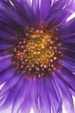 The Stamen of an Aster Flower