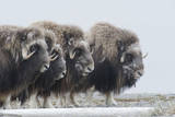 Musk Oxen  Ovibos Moschatus  in a Defensive Ring around their Young