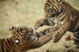Two Critically-Endangered Sumatran Tiger Cubs at Zoo Atlanta