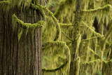 Cat-Tail Moss  Isothecium Myosuroides  Covering Branches in Old-Growth Forest