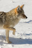 A Coyote Lifts His Paw in a Snowy  Sunlit  Landscape