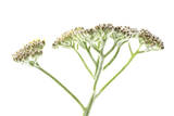 Yarrow Flower Buds