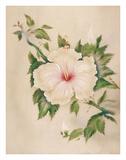 Hawaiian White Hibiscus (Pua Aloalo)