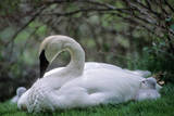 An Adult Trumpeter Swan and Her Newly Hatched Cygnets