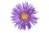 Water Drops on an Aster Flower
