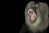 An Endangered Lion-Tailed Macaque  Macaca Silenus  at the Cincinnati Zoo