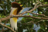 A Lesser Bird of Paradise Flaunts His Flank Plumes to Entice Females